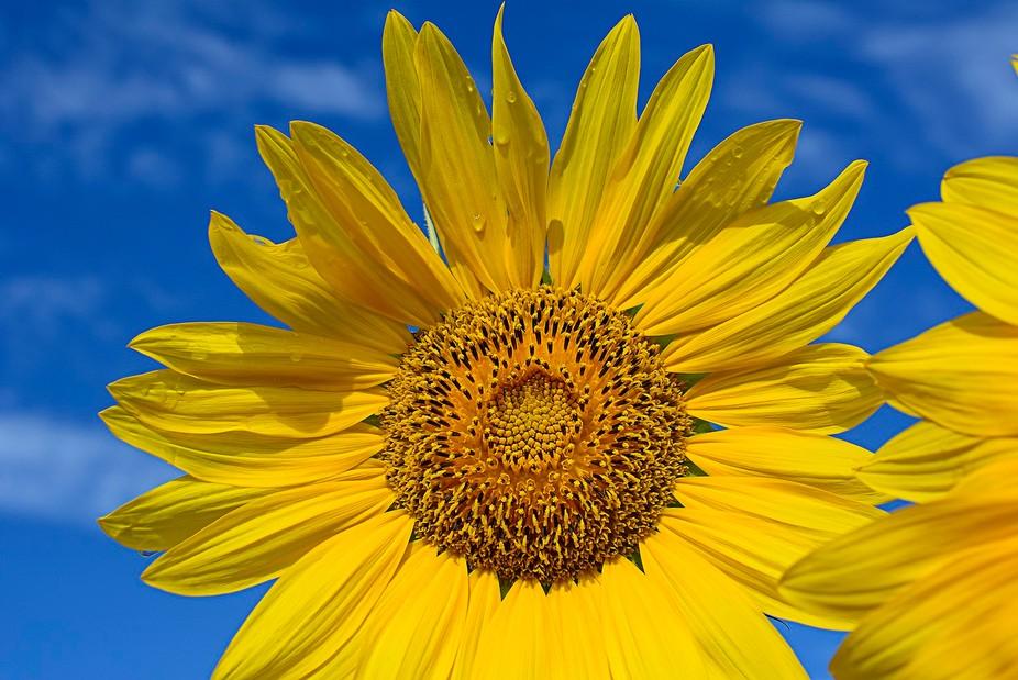Sun and Sunflower