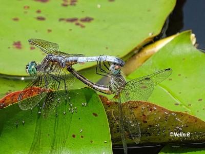 Dragonflies..