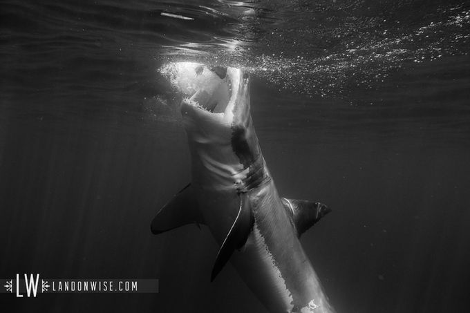 whiteshark5 by LandonWisePhoto - Awesomeness In Black And White Photo Contest