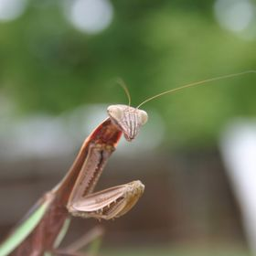 Another backyard mantis, but this is a great closeup.