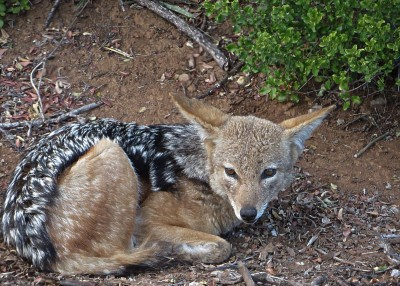 Silver-backed jackal just waking up