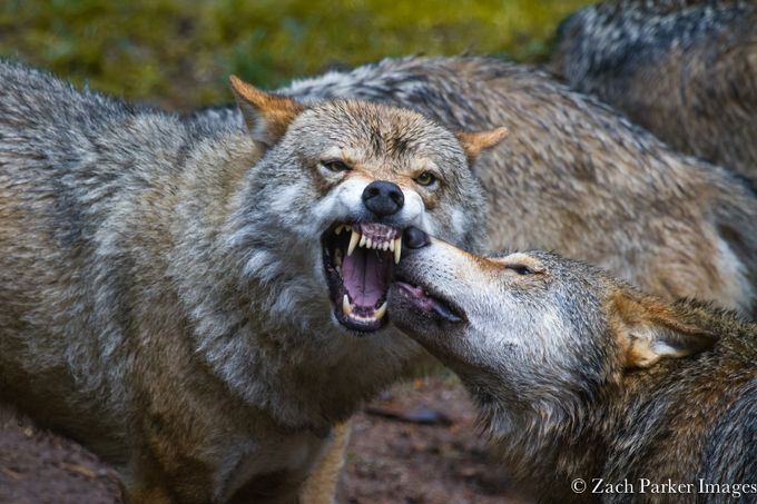 Wolves by zachparkerimages - Celebrating Nature Photo Contest Vol 3