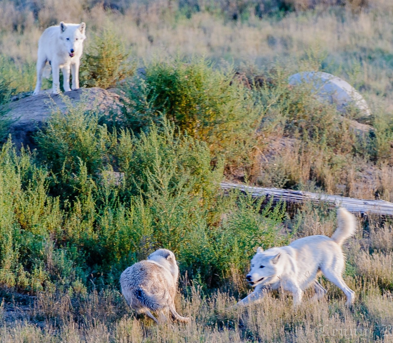 Wolves at play - Wild Animal Sanctuary - Colorado