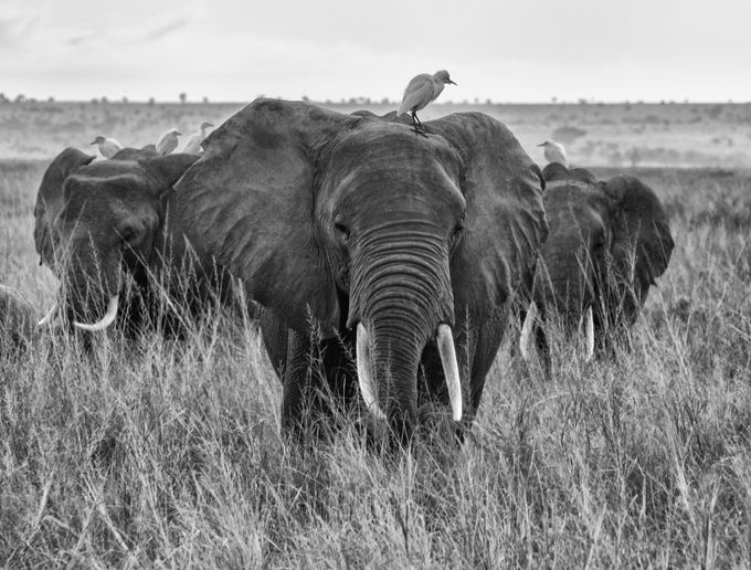 Elephant March by daveweber - National Parks Photo Contest