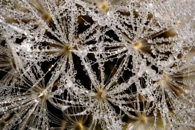 Morning dew on dandelion seeds