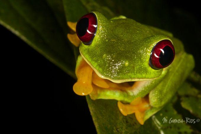 Gliding tree frog by MGamba-Rios - Dodho Volume 4 Photo Contest
