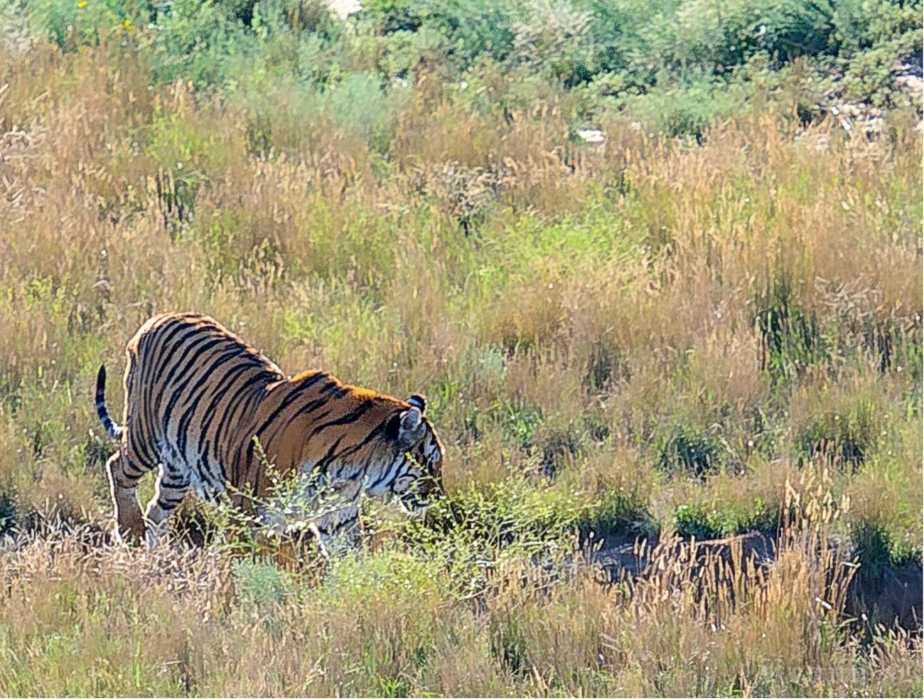 Wandering Tiger-2