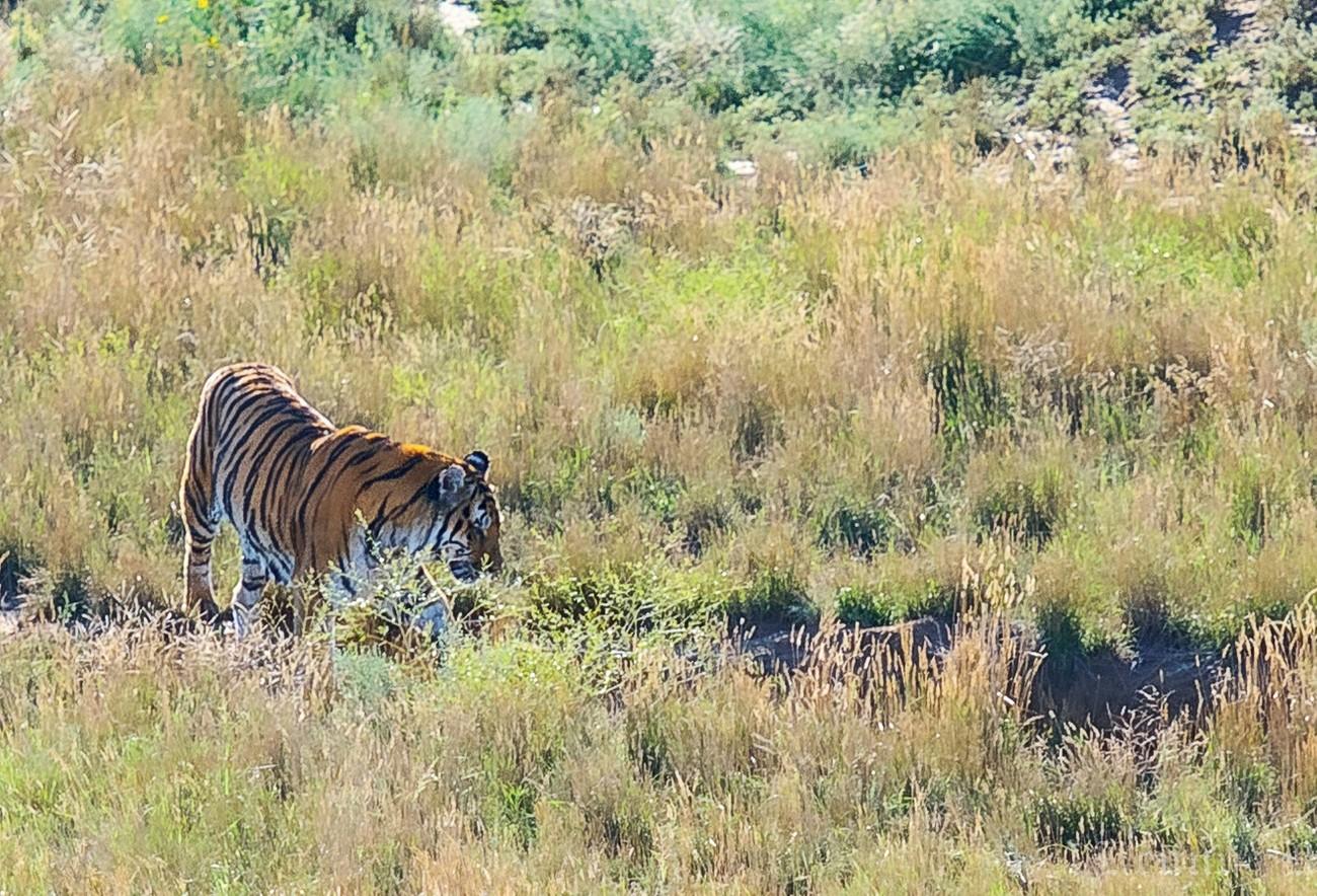 Wandering Tiger-1