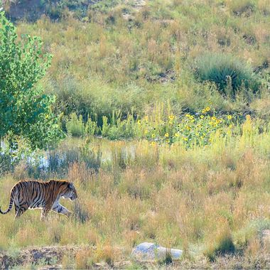 Wandering Tiger-3