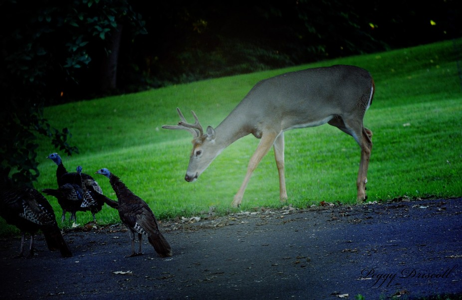 A buck wanting to sniff the turkey as they travel together through the woods.