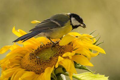 sunflower-visits