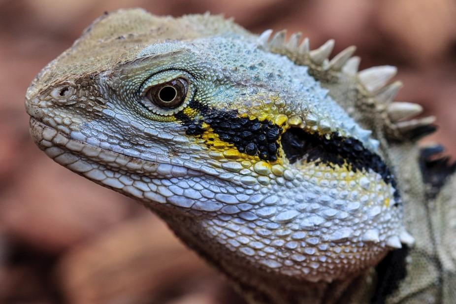 Eastern Water Dragon roaming at Australia Zoo