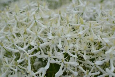 White Flowers En Masse