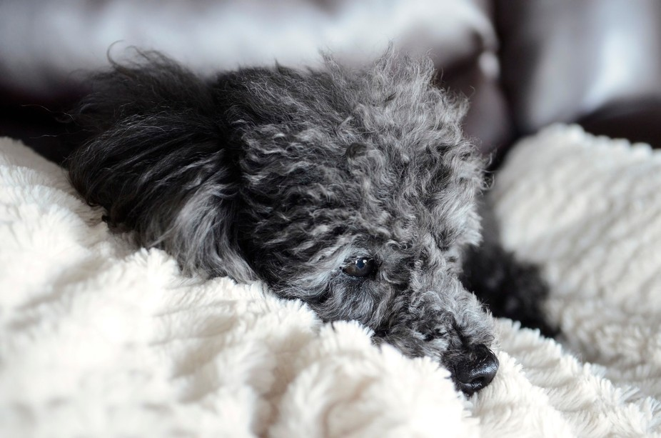 Poodle dog snuggling on a fuzzy blanket during a rainy day.