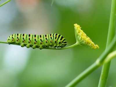 Swallowtail butterfly caterpillar on my fennel