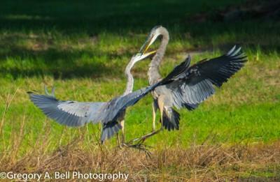 Battling Great Blue Herons