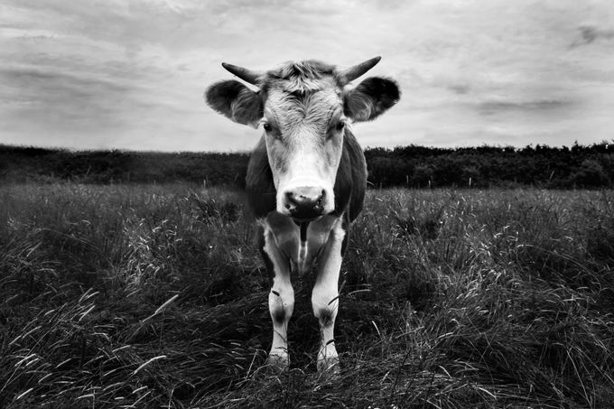 Cow by justinsmith - Black And White Compositions Photo Contest vol3