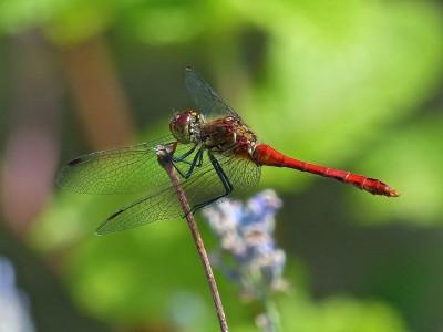 Dragonnfly