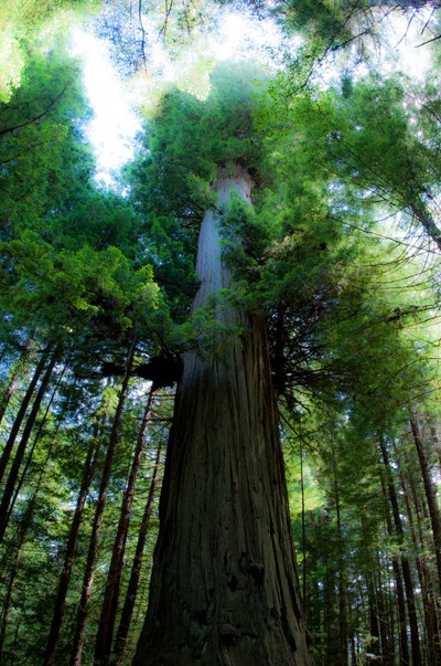 Glorious Redwood