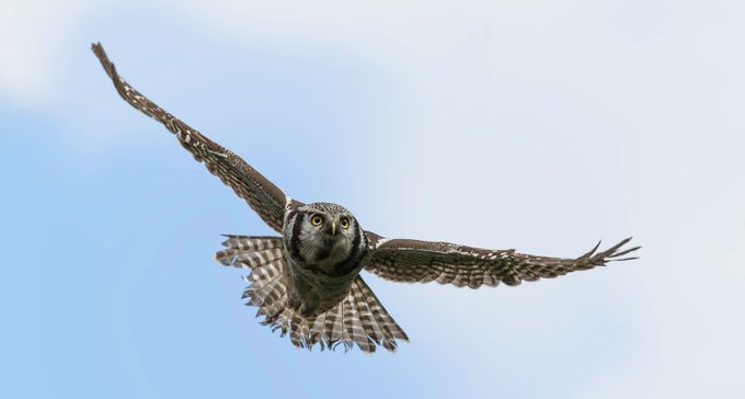 Northern Hawk Owl by DPMPhotography