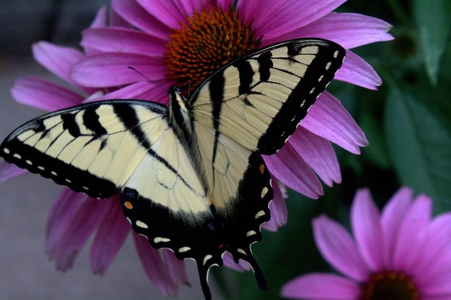 Yellow Butterfly on Purple Coneflower