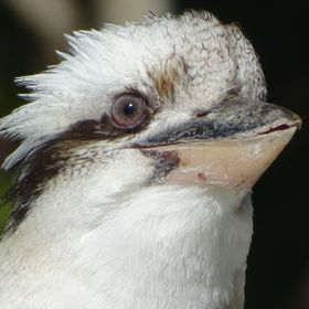 Over the past couple of months, this young kookaburra has been coming with its parents - Aug 20, 2014.  Please SHARE our Wildlife in Nerang page:...