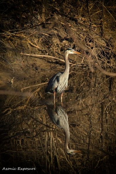 Great Blue Heron - Reflections in a stream