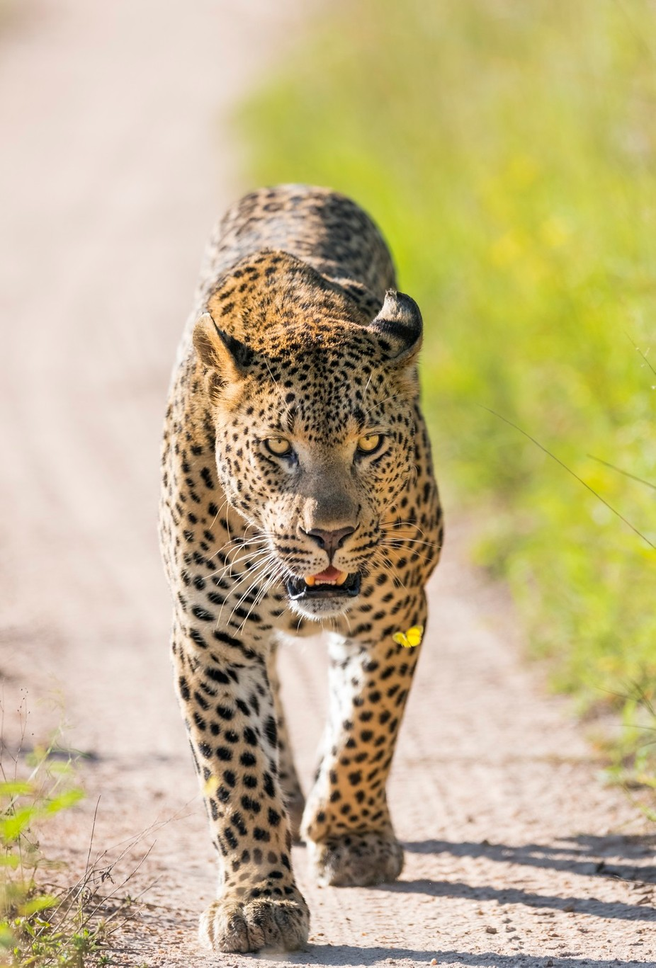 leopard meets butterfly by truetolifephotography - Explore Africa Photo Contest