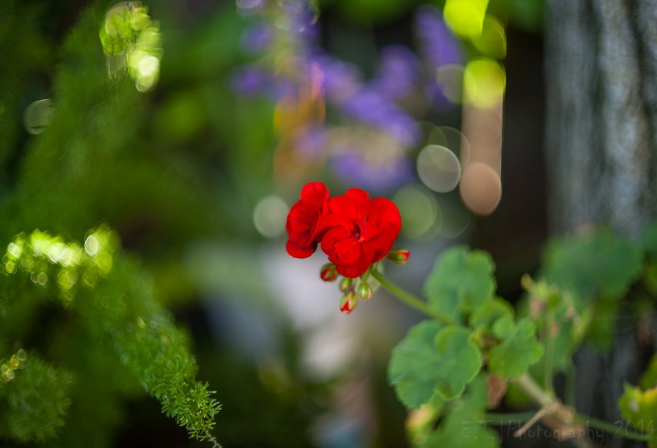 Used an old manual lens the Cosinon Auto 55mm 1.4 I was testing it seen this red geranium with th...