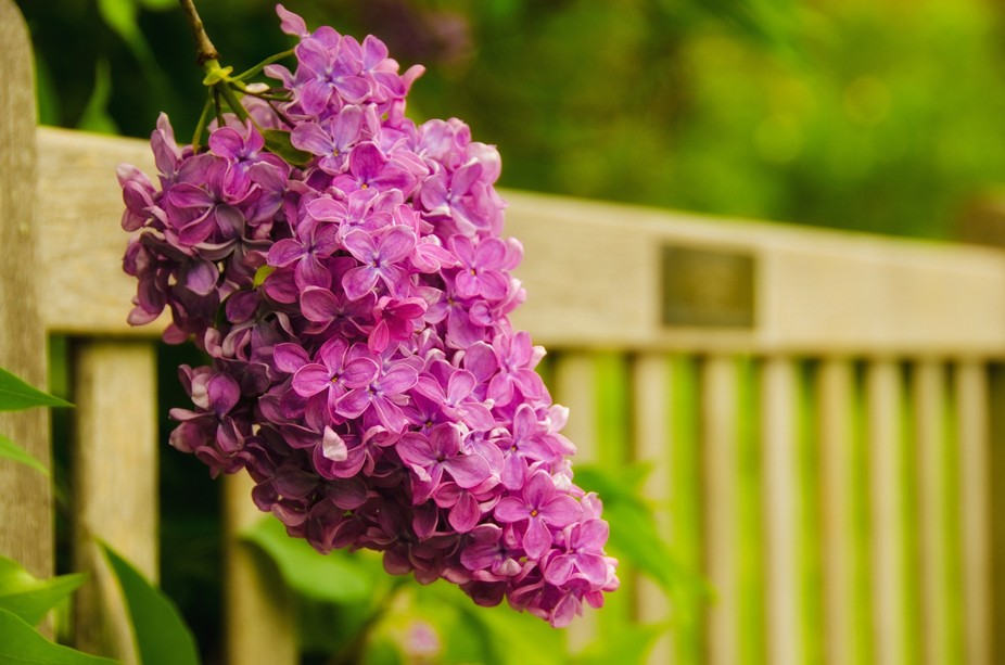 Park Bench with Lilac was created on the grounds of Winterthur Museum located in Wilmington Delaw...