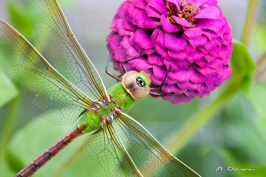 Green Darner Dragonfly resting on zinnia