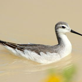 Many species of shore birds congregate on flooded desert ponds in Utah to feed on aquatic organisms.