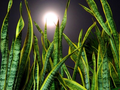 Moonlight and the Snake Plant