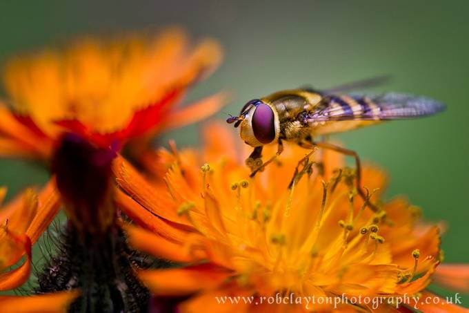 The Wasp by RobClaysPhotos - Orange Is The Color Photo Contest