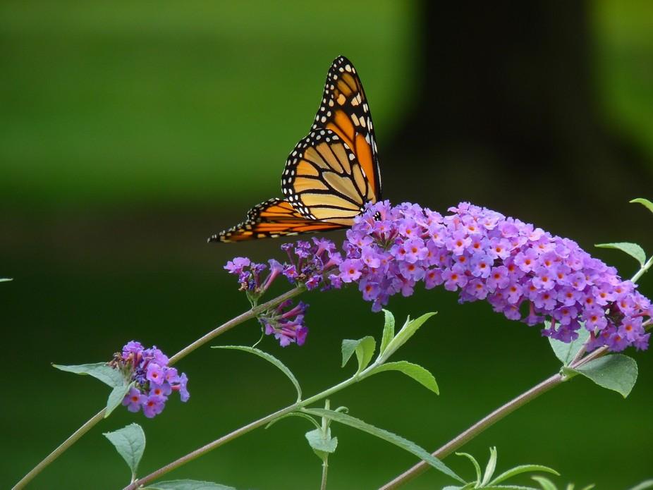 Happy Monarch