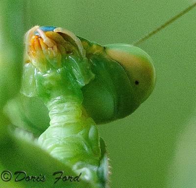 Praying Mantis Face