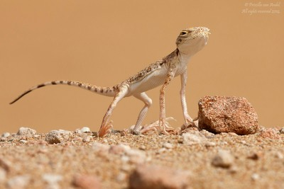319A1435 Arabian Toad-headed Agama (Phrynocephalus arabicus)