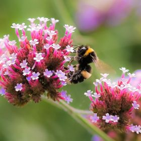A bumble bee collecting nectar from Verbena flowers