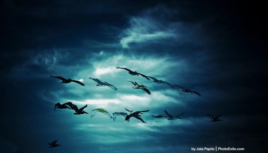 Ghostly flight of the endengered brown pelican