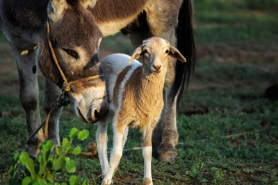 The Wee Goat and the Donkey