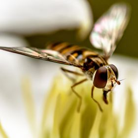 A hoverfly on a clemitis.