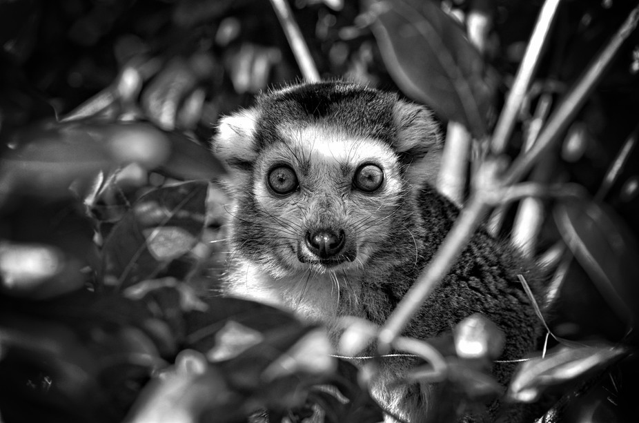 Free roaming lemurs at my local zoo tend to hide in trees. so I pulled back some leaves and there...