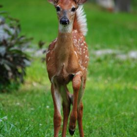 This is one of two fawns seen together when this photo was taken by me. As I moved in closer to the other fawn, this one started walking towards ...