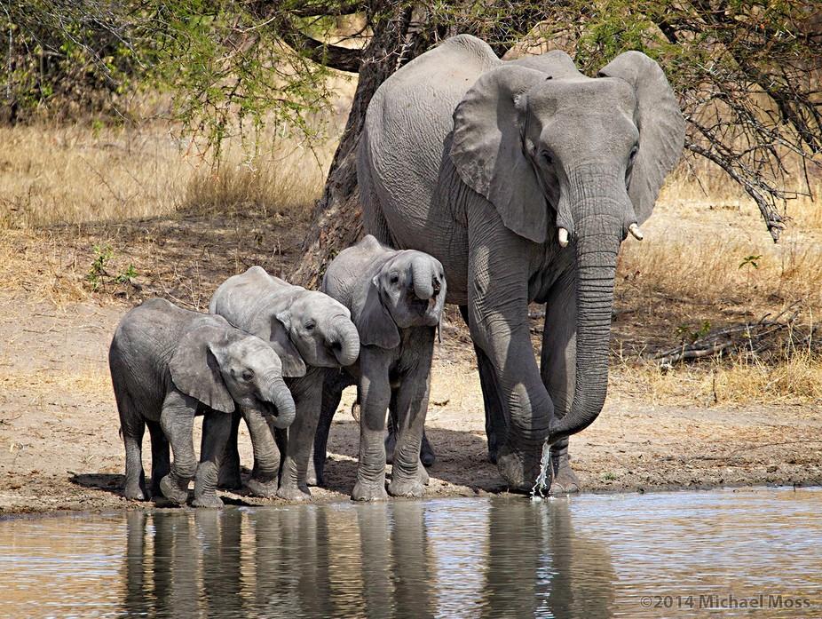 Elephant mom with her kid other relatives. - Lion Sands Reserve, Sabi Sands, South Africa