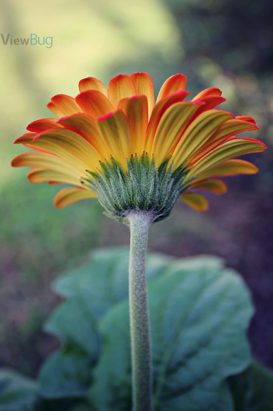 Gerber Daisy by amyjohuffer - Depth In Nature Photo Contest