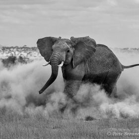 Elephant in the Dust in Amboseli