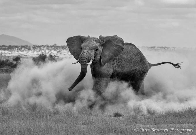 Elephant in the Dust in Amboseli by pattebrownell - Black And White Wow Factor Photo Contest
