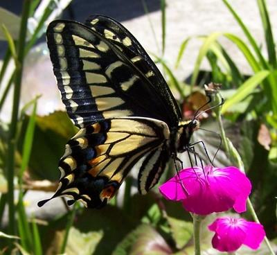 butterfly69