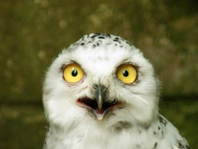 Wise eyes of a snowy staring owl