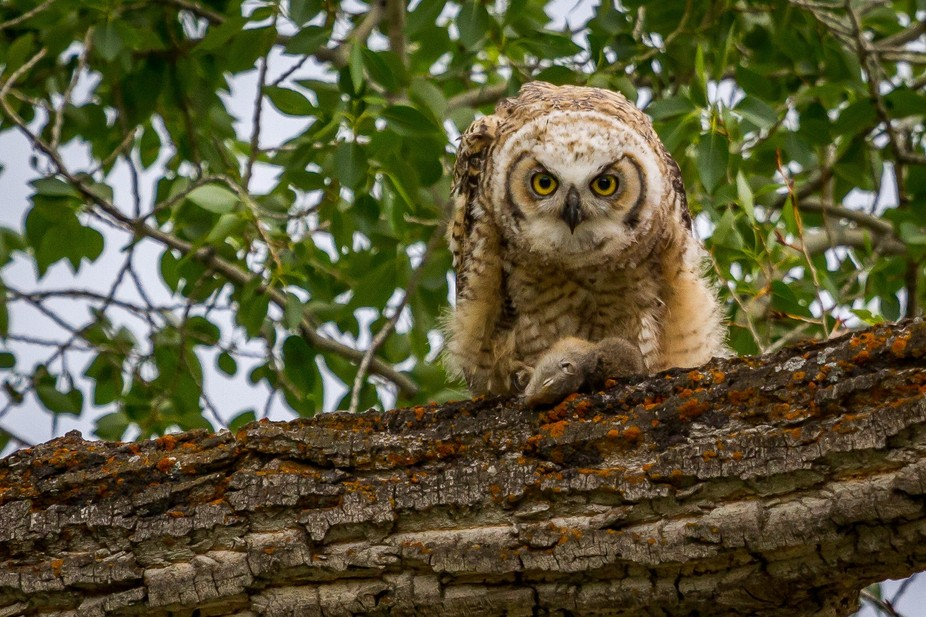 Three great horned owl fledglings in a cottonwood tree were given ground squirrels by their paren...
